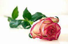 rose-301406_1280MIN